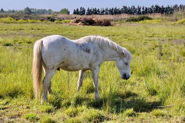 Camargue, cavallo