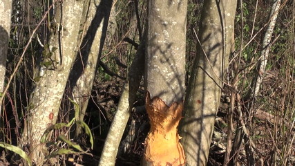 alder tree damage caused by european beaver in forest