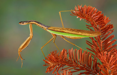 Snake Mantis
