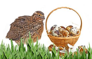 quail eggs in a basket and a quail
