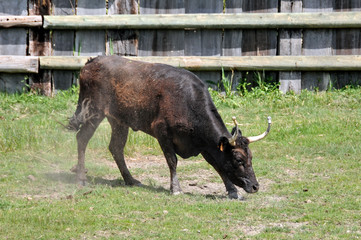 Camargue, toro 1