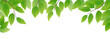 Fresh green leaves on white background, vector illustration - 79962807