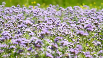 Blossom phacelia flowers in the summer