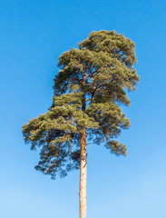 Detailed photo of European pine tree over blue sky