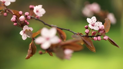 Cherry blossom flowers and buds.