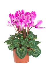 Cyclamen in a flower pot. Close-up. Isolated.