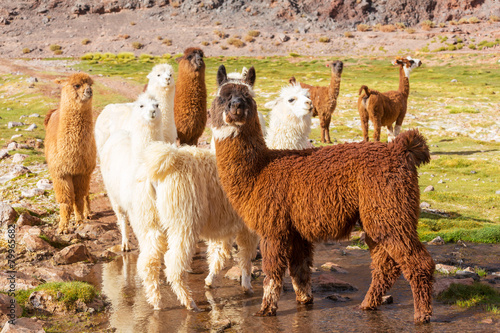 Foto op Canvas Lama Llama