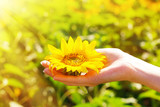 Beautiful sunflower in hand on sunny nature background