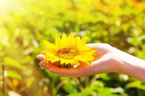 Fotobehang Zonnebloemen Beautiful sunflower in hand on sunny nature background
