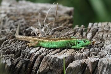 Lizard on a stump