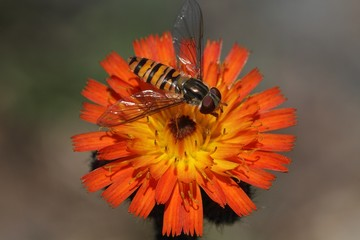 Flower fly (Hoverfly,Syrphidae) drinking from flower