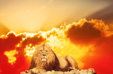 adult lion lies against bright sunrise