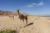 Camel in Dahab