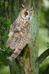 Long-eared owl in ancient tree