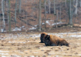 Two wood bison resting in field