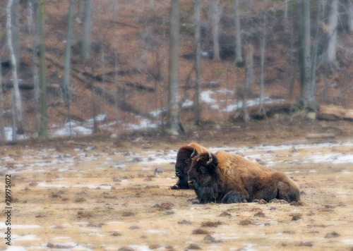 Deurstickers Bison Two wood bison resting in field