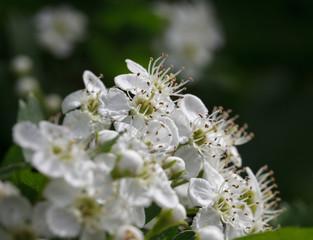 Flowering whitethorn