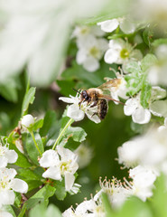 Bee on blossom whitethorn