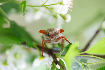 May bug on blooming tree