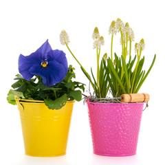 White grape hyacinths and blue Pansy