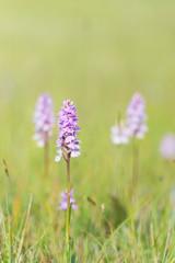 Field wild orchids