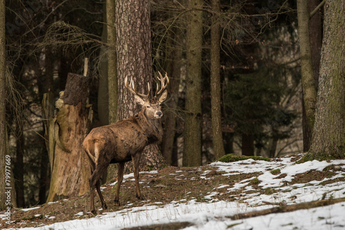 Foto op Canvas Ree Hirsch am Waldrand
