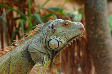iguana green profile 2