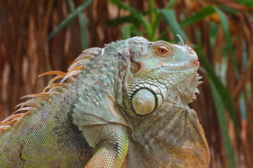 iguana green profile 3