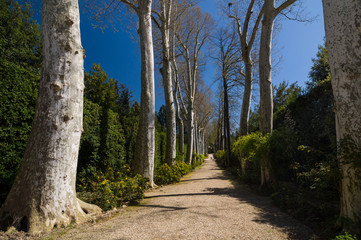 Sycamore (Platanus) alley in Boboli Gardens, Florence, Italy.