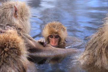 温泉に入るかわいいニホンザルの赤ちゃん