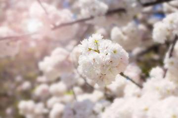 Abstract soft and blur spring white sakura