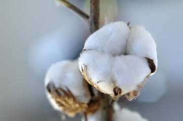 Baumwolle (Gossypium) Nahaufnahme