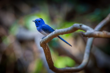 Black-naped Monarch (Hypothymis azurea)  on the branch in nature
