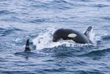 USA, Alaska, Seward, Resurrection Bay, zwei Schwertwale (Orcinus Orca)