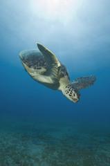 Ägypten, Rotes Meer, Grüne Meeresschildkröte (Chelonia mydas)