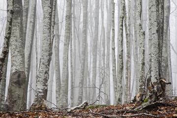 Italien, Toskana, nebliger Wald
