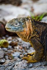 Portrait of a marine iguana in the Galpagos Islands