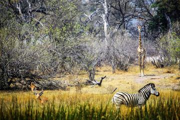 Botswana, Okavango Delta, Antilopen, Zebras und Giraffen