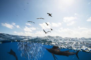 Mexiko, Yucatan, Isla Mujeres, Karibisches Meer, Indopazifische Segelfische, Istiophorus platypterus, jagen Sardinen Sardina pilchardus, Fregattvögel