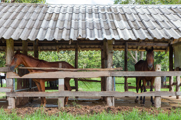 Horses in the old barn
