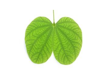 Purple Bauhinia leaf
