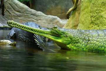 Indian gavials 4