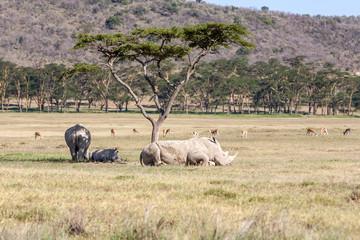 Safari - rhinos