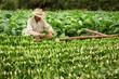 Leinwanddruck Bild - Tobacco farmers collect tobacco leaves