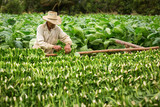 Tobacco farmers collect tobacco leaves