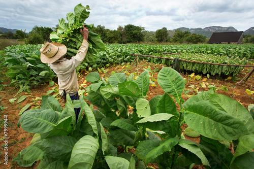 Tobacco farmers collect tobacco leaves - 79999441