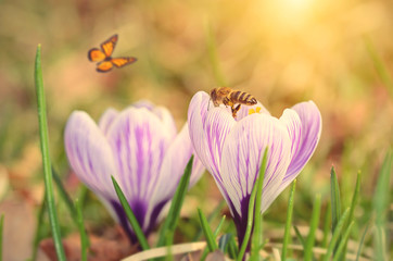 Soft photo of crocus flower