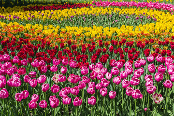 A flowerbed of multicolored tulips