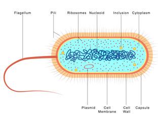 Anatomy of Bacteria