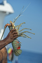 Hand of old man on a fishing boat holding a lobster
